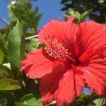沖縄の花_ハイビスカス_赤花